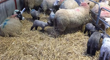 'Disappointing' scanning results for early lambing flocks