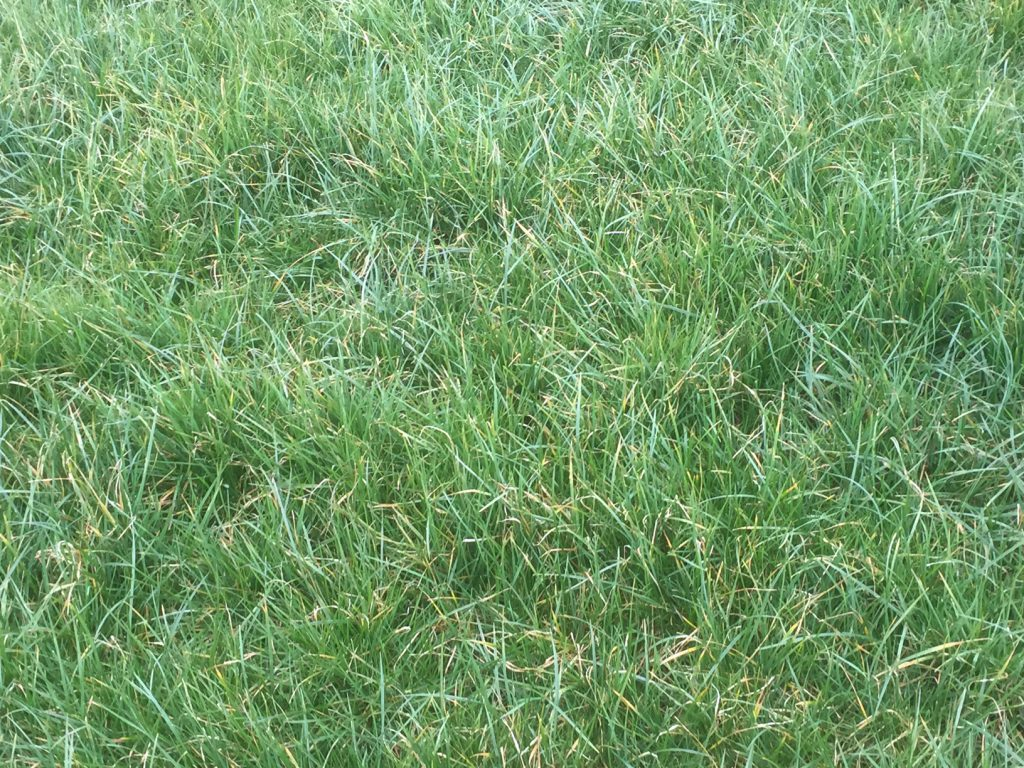 Grass cover of 1,200kg/ha (9-10cm).