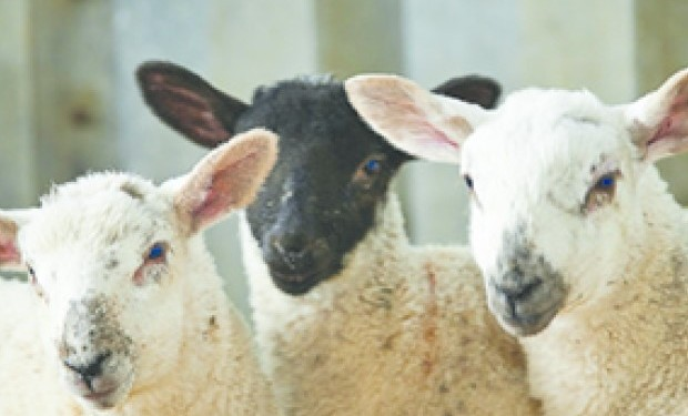 Volostrum fed lambs grow at the same rate as lambs fed on colostrum – Volac