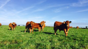 'Early summer' target and 500,000 head limit for new €40/head beef scheme