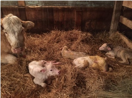 Fourth times a charm: Charolais cow gives birth to quadruplets