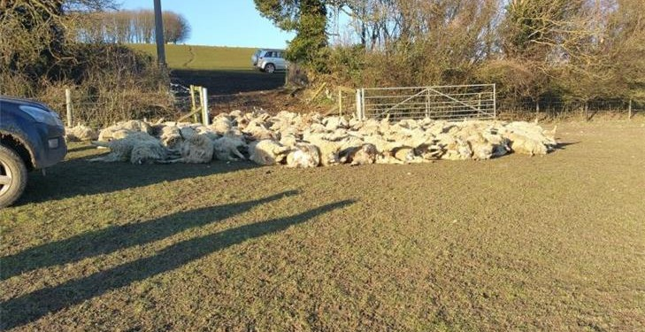 Over 100 sheep killed in the UK's worst sheep attack ever