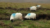 Hill sheep blues: Highland farmers want €3 million budget boost