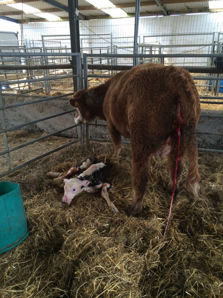 Calf after delivery