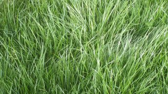 'Perennial Ryegrass accounts for 95% of all seed sales' – But why is it so popular?