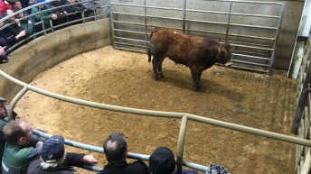 Plain cattle difficult to sell in Kilkenny Mart as a lack of grass dampens the trade
