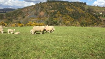 Sheep kill: Hogget numbers tighten but spring lamb throughput jumps again