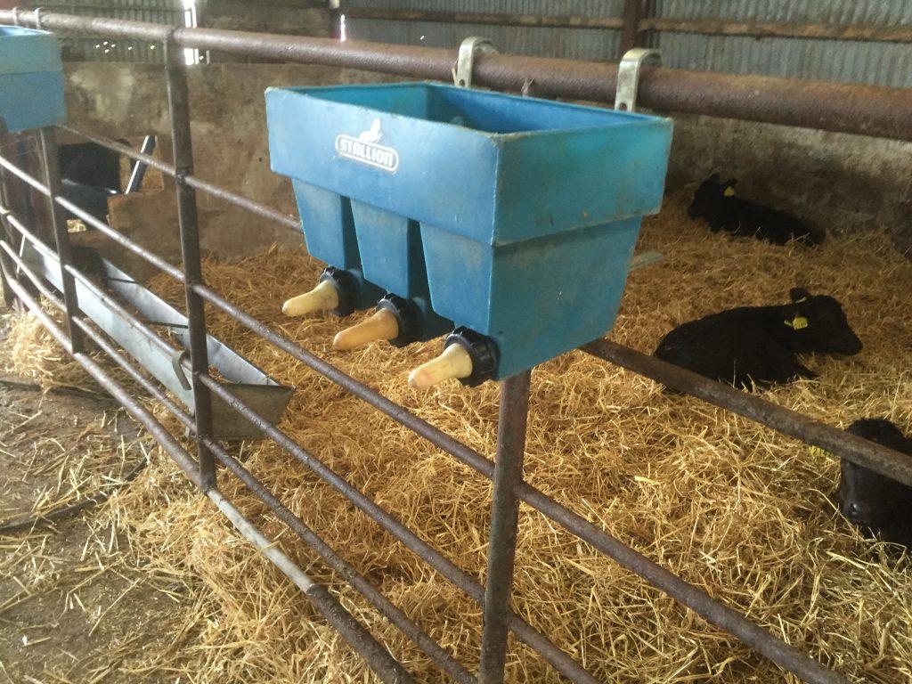 Calves are fed milk using blue feeders