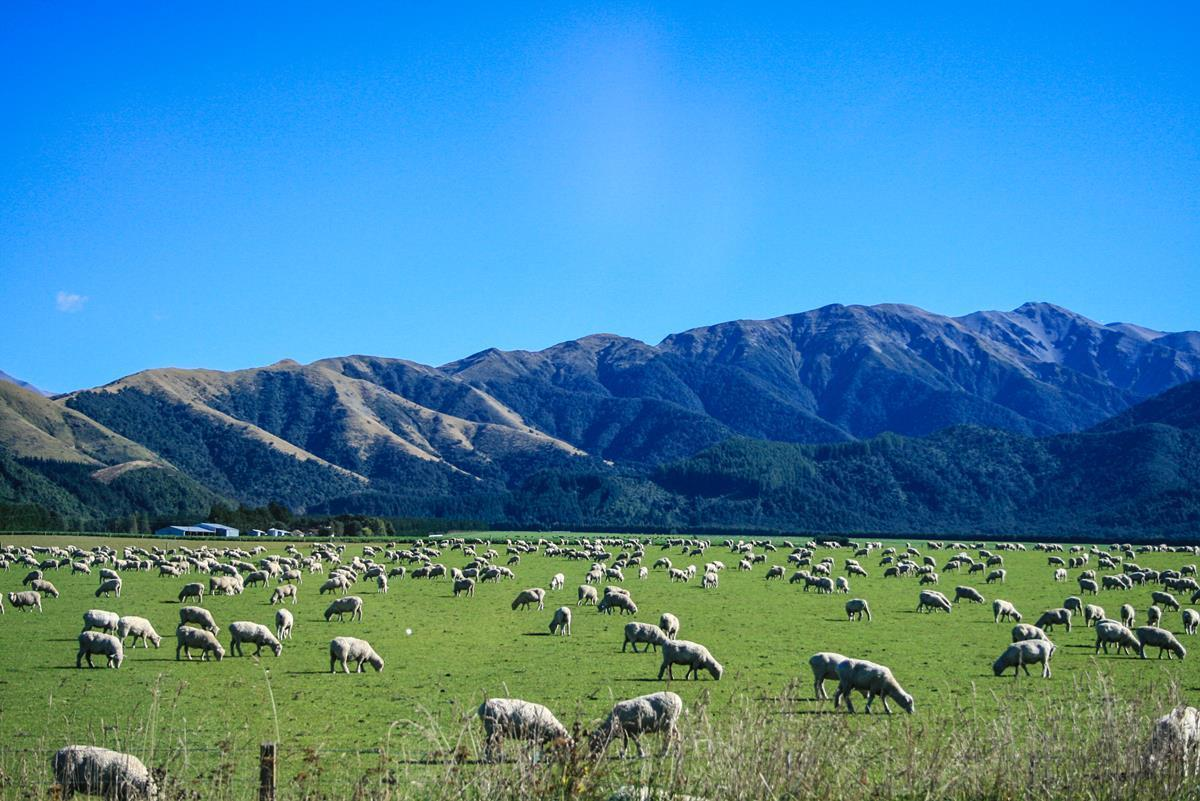 new zealand sheep numbers drop as the beef herd increases