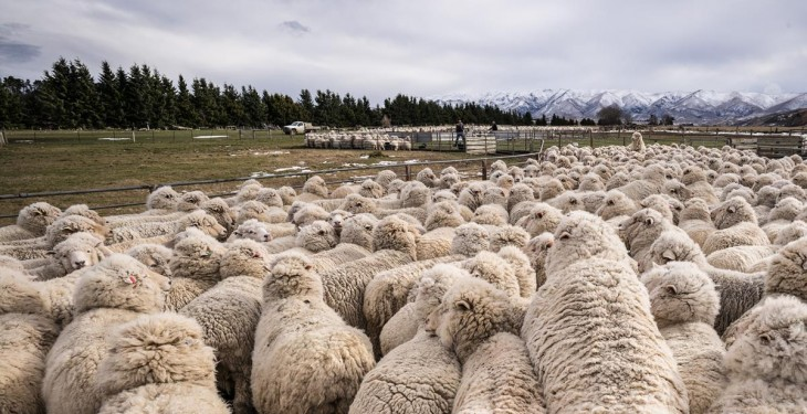 Australia exports 1,400 sheep to China to improve genetics of the flock