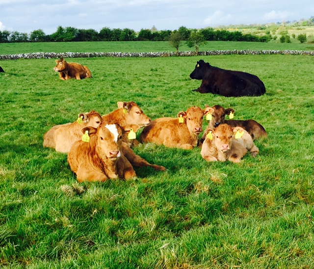 Over 1,600 calves test positive for BVD in Northern Ireland since March