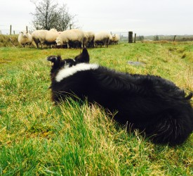 'World record': Sheepdog pup sells for £10,600 in Wales