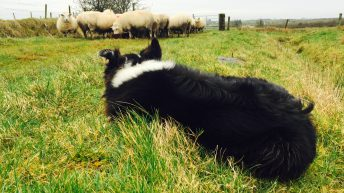 Dog owners urged to stop pets rambling after sheep butchered