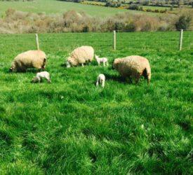 Farmer's view: Managing yearling ewes pre-lambing and post-lambing