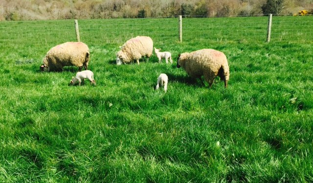 Find out how to manage a flock of 255 to 2,400 ewes at the Grassland Conference
