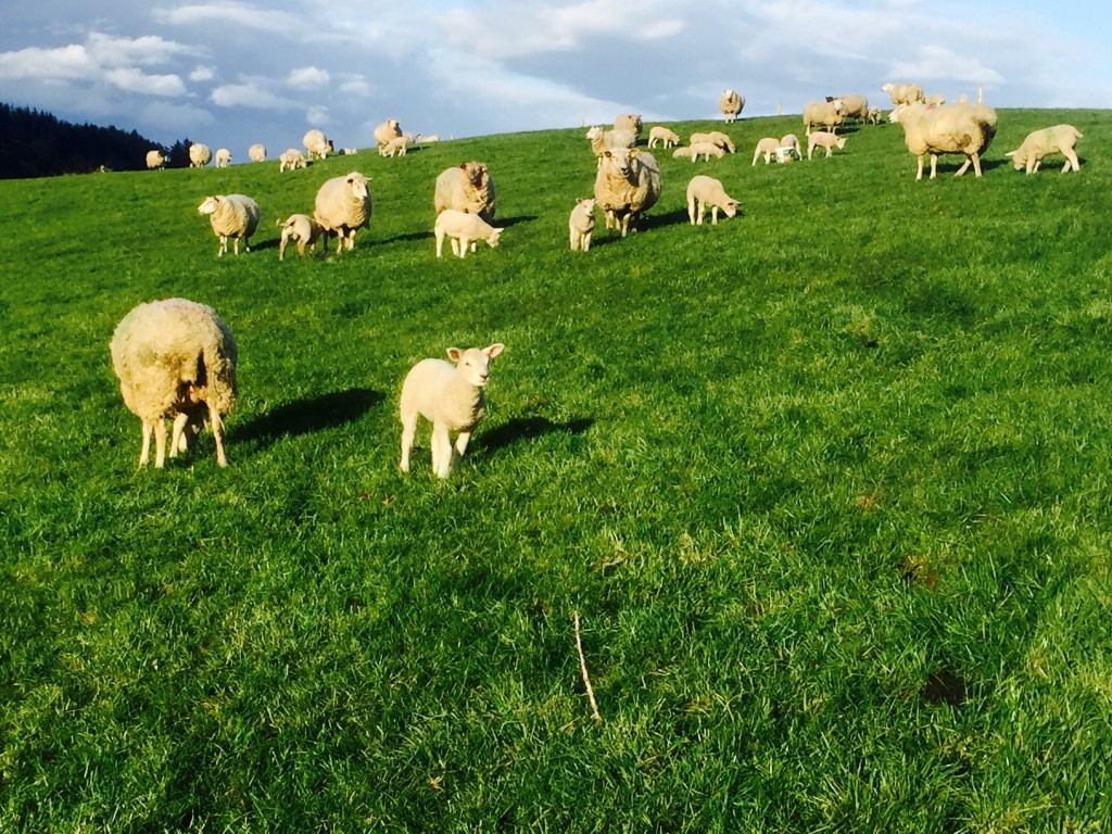 sheep census, Met Eireann, lambs