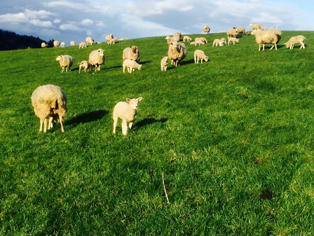 sheep census, Met Eireann, lambs