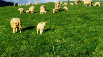 Sheep farmers produced more for less in 2017