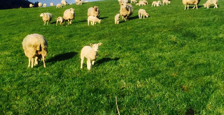 EU-wide drive to increase the productivity of sheep farms