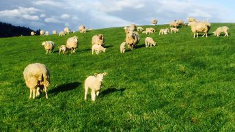 'Breeding from ewe lambs affects the bottom line'