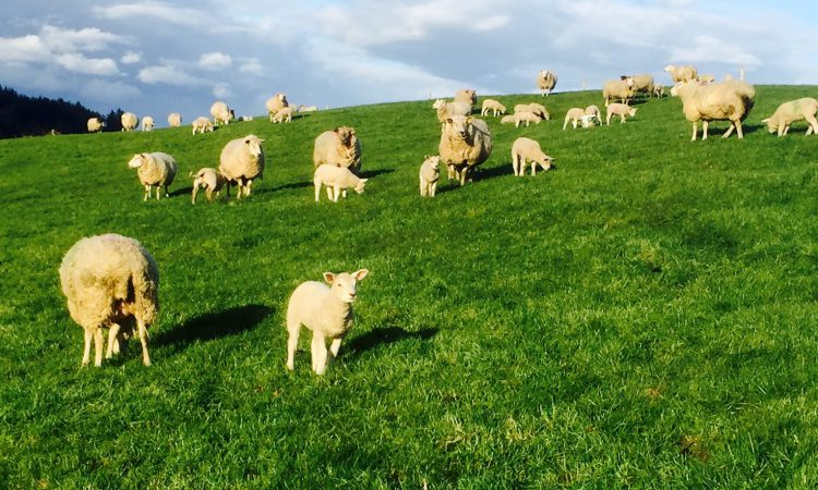 How many sheep were in the Irish flock in 2017?