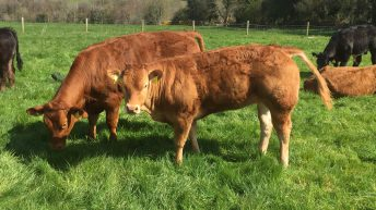Northern Irish finishers paid €11 more than Irish farmers for 280kg R3 heifers