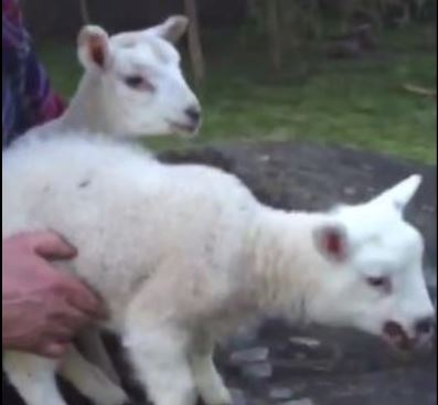 Lamb showing signs of Orf (front) and lamb without Orf (back)