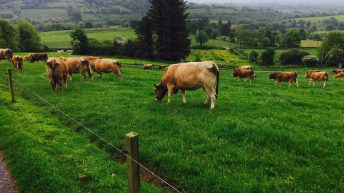 Should more dairy farmers use Aubrac bulls to clean up?