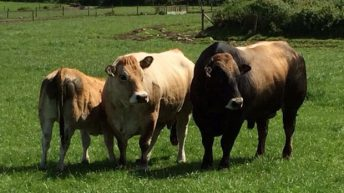 Experience first hand what Aubrac genetics can do for the beef herd