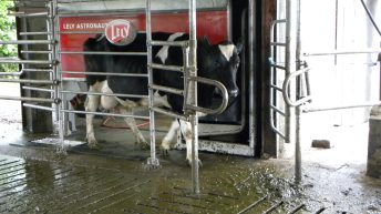 Pics and video: Using milking robots to bridge the gap between two farms