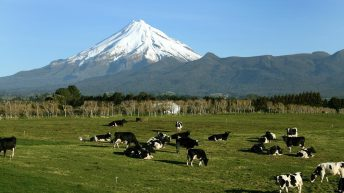 500 in-calf dairy cows stolen in mass cattle theft in New Zealand