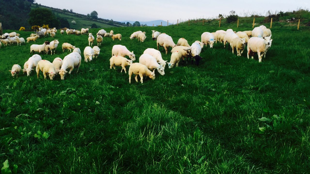 How much does blowfly strike cost sheep farmers?