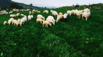 Increased spring lamb throughput sees prices remain static