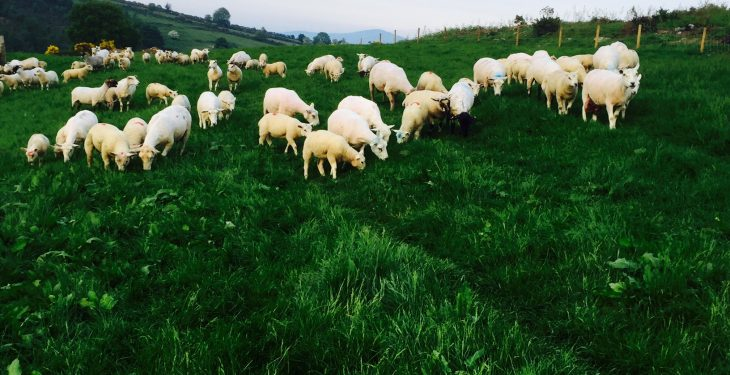 'Marauding dogs can inflict horrendous damage on a sheep flock'