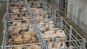 Sheep marts: Lamb trade eases over the bank holiday weekend