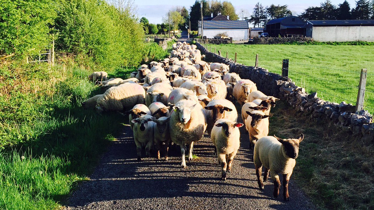 New €25m sheep scheme still not submitted to Europe for approval