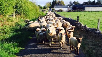 New sheep payment will be higher than previous schemes – Minister