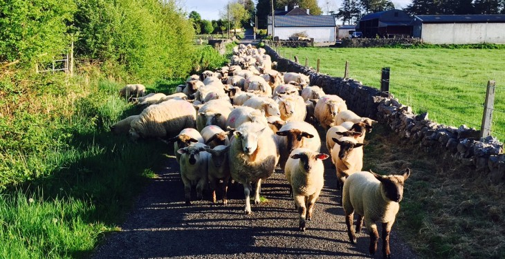 New sheep scheme set to be worth €10/ewe