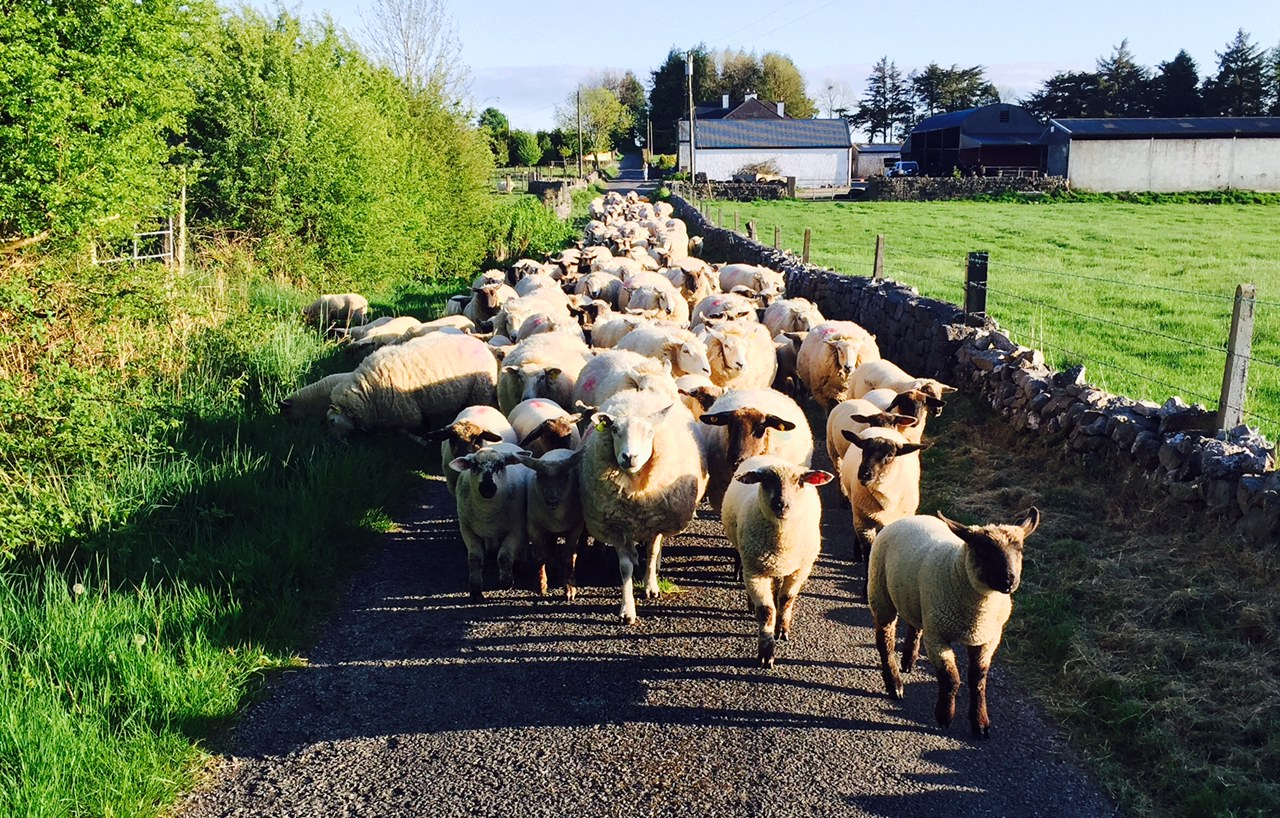 Only 24 Of Irish Sheep Farms Are Viable Teagasc Agriland Ie