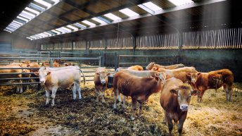 Irish farmers paid the sixth highest R3 heifer price in Europe