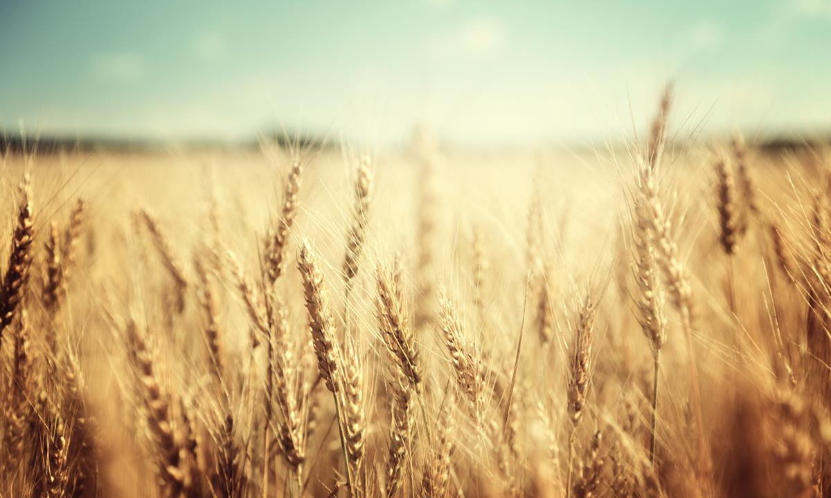 Good yield outlook for EU cereals despite April weather conditions