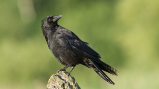 Great advice on how to prevent crow attacks on crops