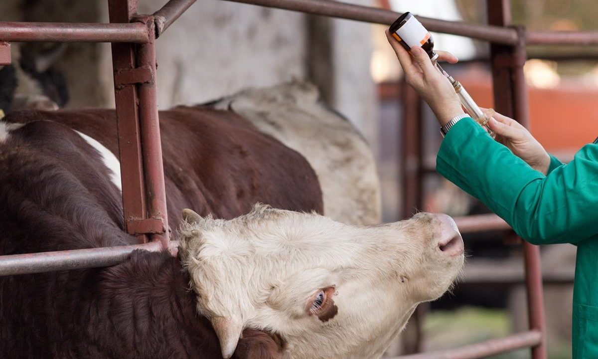 Close to 100 new outbreaks of Bluetongue reported in France
