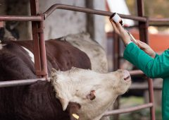 Vet service charging farmers €500 call-out fee
