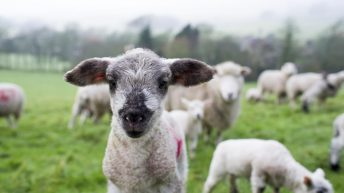 What will sheep farmers have to do to get their new €10/ewe payment?