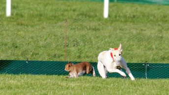 Hare coursing will not be banned after Dail vote defeats Bill