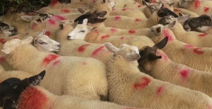 Sheep carcasses 'deemed unfit for the food chain'