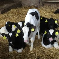 Where did all the calves that were exported this year go?