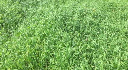 Brome grass becoming a 'major grassland weed problem' on tillage farms