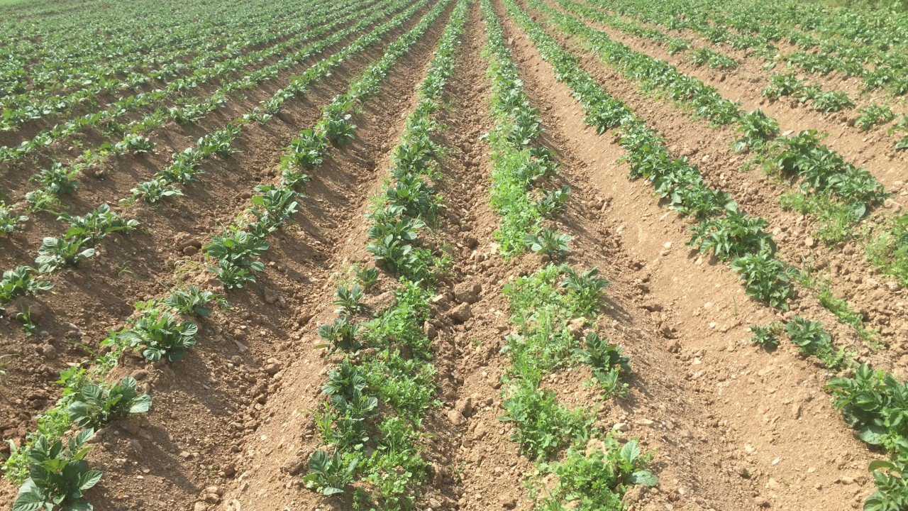 Potato blight warning issued for later this week